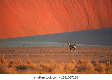 Picturesque Namib desert landscape, huge red dunes with South African oryx, Oryx gazella against blue sky. Typical desert environment, wildlife photography in Namib Naukluft National Park, Namibia.