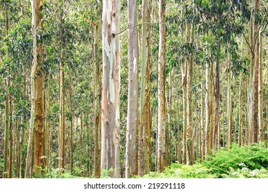 Picturesque nature rural landscape with eucalyptus forest.