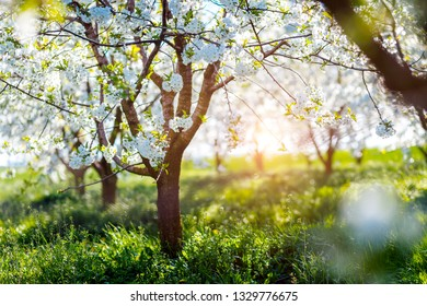 Picturesque ornamental garden with blooming lush trees in the sunny day. Flowering orchard in spring time. Scenic image of trees in charming botanical garden. Concept of the ecology. Beauty of earth.