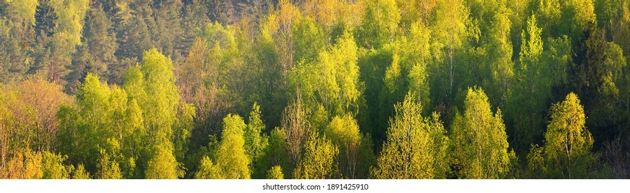 Picturesque panoramic aerial view of the green deciduous and pine forest. Young and mighty trees close-up. Ecology, ecotourism, environmental conservation, pure nature. Texture, background, wallpaper