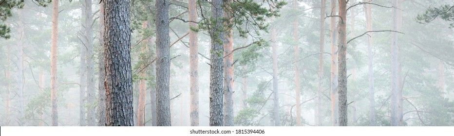 Picturesque panoramic view of the mysterious evergreen pine forest in a thick white morning fog. Tree trunks close-up. Abstract natural pattern, texture, background. Pure nature concept