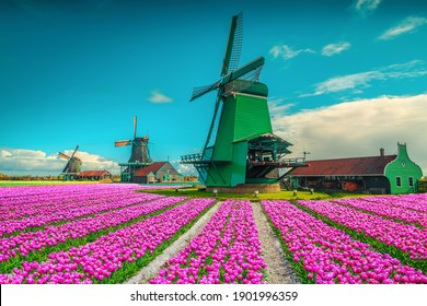 Picturesque place with colorful tulip plantations and old windmills in Netherlands, Europe