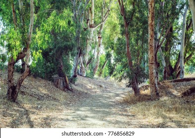 Picturesque remote road in eucalyptus grove. Bright sunny day.  This picture was taken in Israel