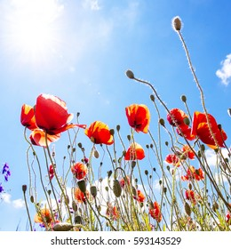 picturesque scene. close up fresh, red flowers poppy on the green field, glowing in the sunlight. on the perfect blue sky background. natural creative picture