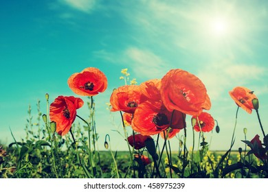 picturesque scene. closeup fresh, red flowers poppy  on the green field, in the sunlight. on the perfect blue sky background. majestic rural landscape. Retro and vintage style, Instagram toning effect