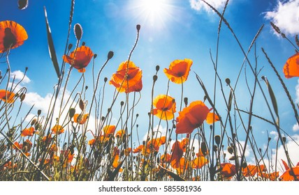 picturesque scene. closeup fresh, red flowers poppy  on the green field, in the sunlight. on the perfect blue sky background. natural creative picture