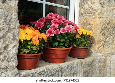 Picturesque small decoration in farm.  Chrysanthemum autumn flowers.