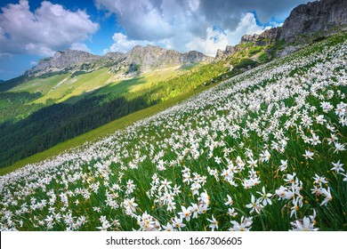 Picturesque summer landscape with stunning white daffodils flowers on the hills in Bucegi mountains, Carpathians, Transylvania, Romania, Europe