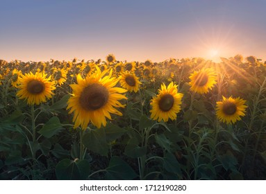 A picturesque sunflower field at sunset in the rays of the setting sun. Summer rural landscape with sunflowers