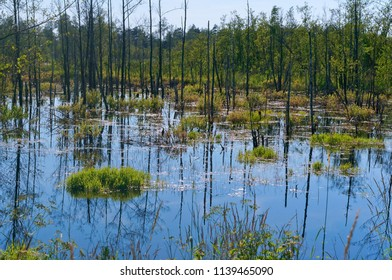 a picturesque swamp, birch trunks are reflected in the swamp