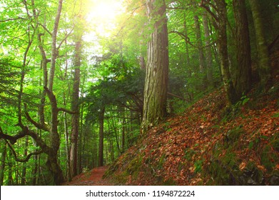 Picturesque tree trunks in a dreamy temperate forest in Mount Olympus - Greece