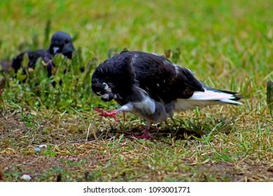 Pidgeon over grass