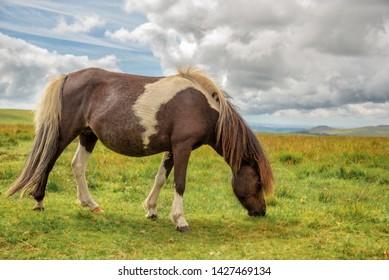 Piebald Dartmoor Pony grazing in the moor, in Dartmoor, Devon, UK