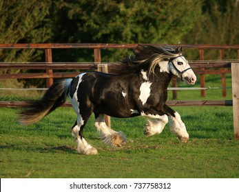 A piebald gypsy cob stallion moves loose in a paddock.