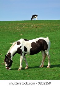 Piebald horse and Friesian cow grazing