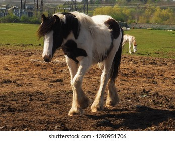 Piebald horse with long main standing in a field