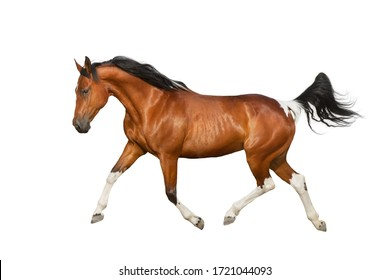 Piebald Horse run gallop isolated on white backround