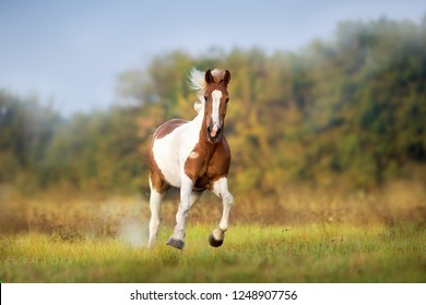Piebald  horse run gallop on meadow