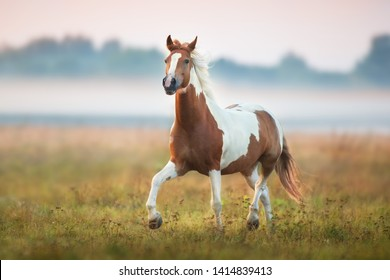 Piebald  horse run gallop on fog meadow