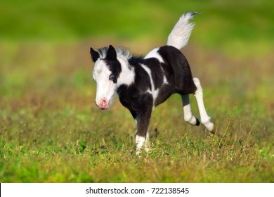 Piebald pony foal  run in spring field
