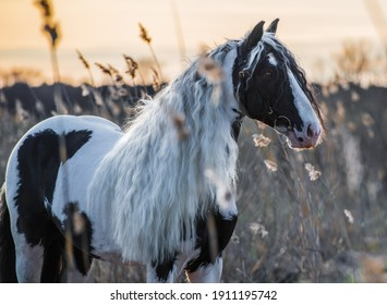 Piebald tinker with a long mane poses in nature