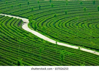 A piece of green plants, tea, tea, natural fragrance