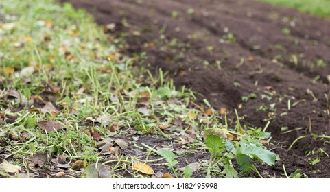 A piece of land half tilled after sideration with rape plant, empty mockup background for your design, copy space, closeup, autumn agriculture farming concept
