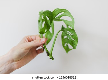 A piece of monstera monkey mask cut of for propagation in water