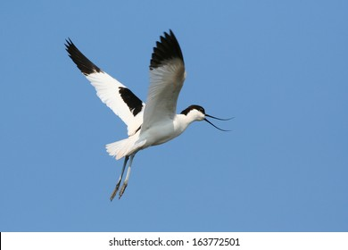 Pied Avocet (Recurvirostra avosetta) in flight