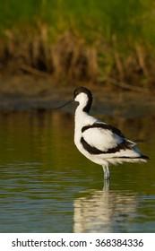 Pied Avocet  - Recurvirostra avosetta - Kluut