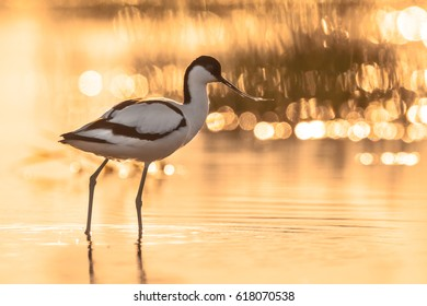 pied avocet (Recurvirostra avosetta) wading in water of salt marsh in early orange light and looking for food during sunrise
