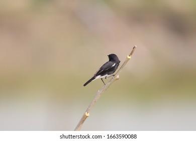 A Pied bushchat bird is sitting alone