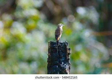 Pied bushchat -bird in Thailand.
