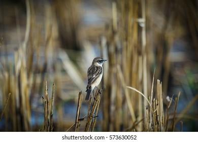 Pied Bushchat, Birds