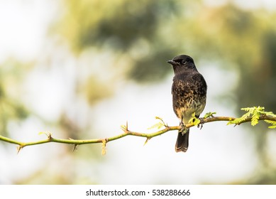 Pied Bushchat perched on a branch with isolated green background