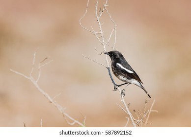 Pied Bushchat perched on a stem in isolated background
