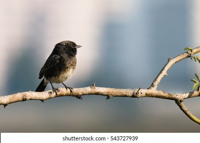 Pied Bushchat perched in a tiny branch looking right side