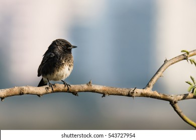 Pied Bushchat perched in a tiny branch in winter