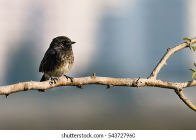 Pied Bushchat perched in a tiny branch