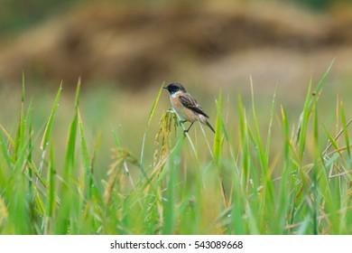 Pied Bushchat,Bird.