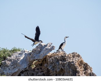 Pied cormorants on rocks, Penguin Island, Western Australia