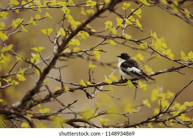 Pied flycatcher on branch