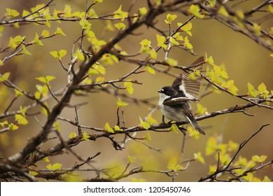 Pied flycatcher on branch
