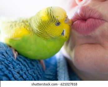 A pied green and yellow budgerigar parakeet sitting on a shoulder lovingly kissing a person on the lips.