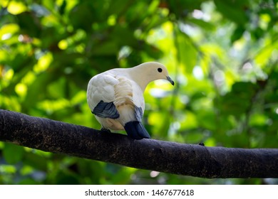 Pied imperial pigeon (Ducula bicolor) from the Columbidae family, seen resting on a tree branch.