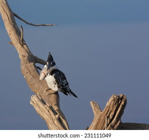 Pied Kingfisher beating a fish to a pulp before swallowing