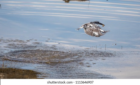 Pied Kingfisher catches fish from water