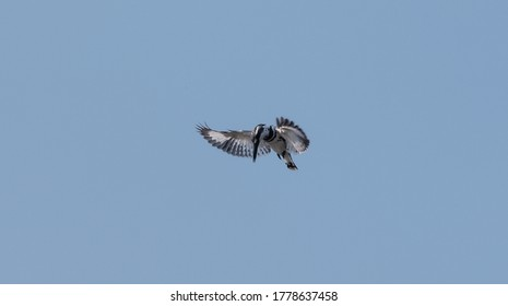 Pied Kingfisher (Ceryle rudis) bird hovering in sky for fishing