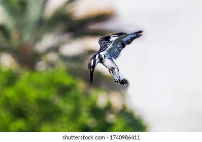 A pied kingfisher (Ceryle rudis) hovering mid-air and getting ready to dive to catch a fish