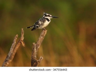 Pied Kingfisher Ceryle rudis perched on old branch. Colorful evening orange background on river Chobe, Botswana.